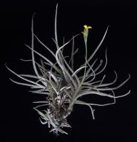 Tillandsia crocata (Medium)